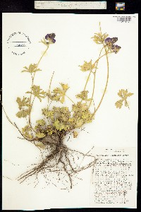 Sidalcea ranunculacea image