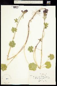 Image of Sidalcea ranunculacea