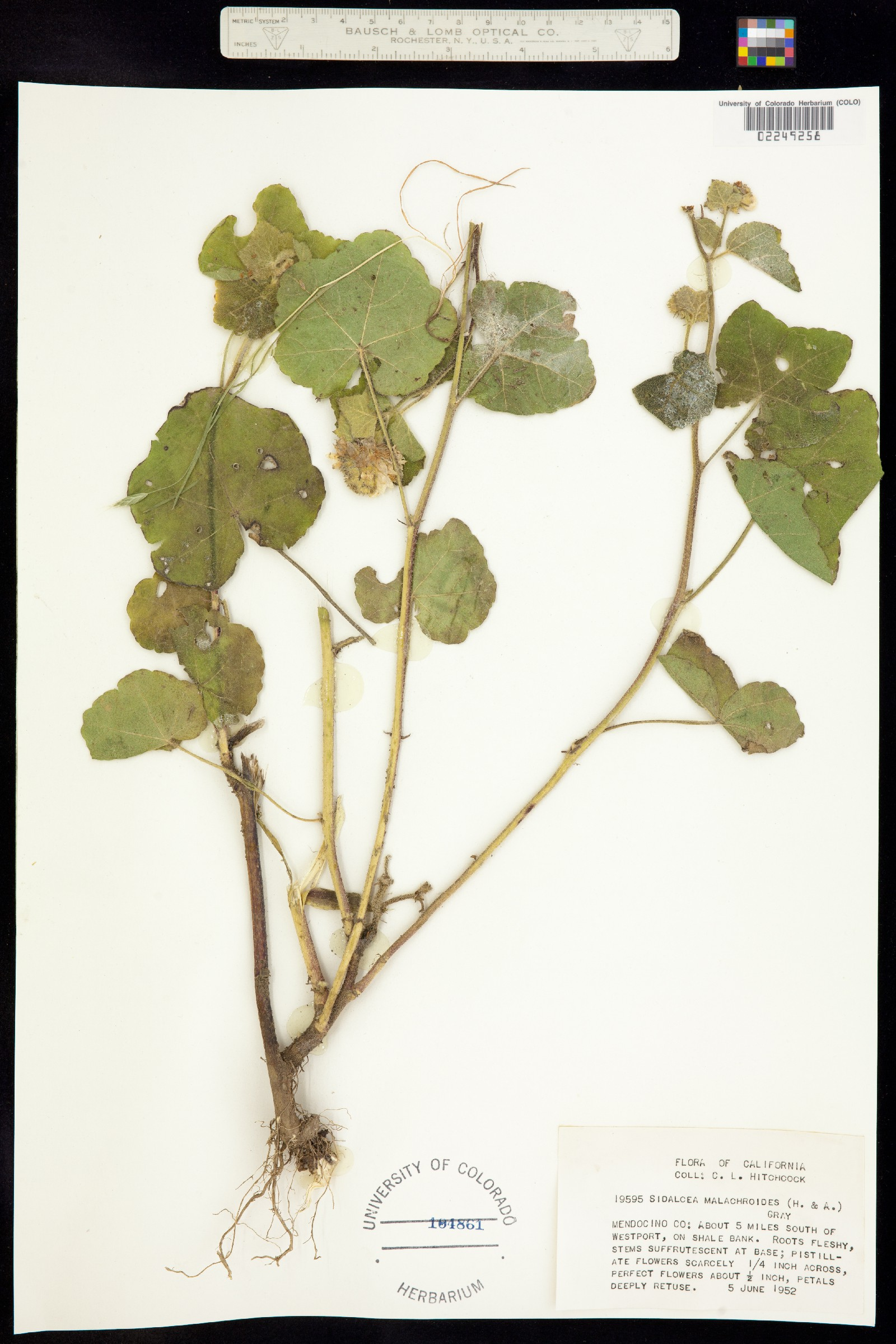 Sidalcea malachroides image