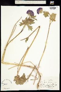 Image of Sidalcea hirtipes