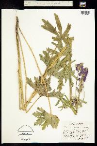 Sidalcea hirtipes image