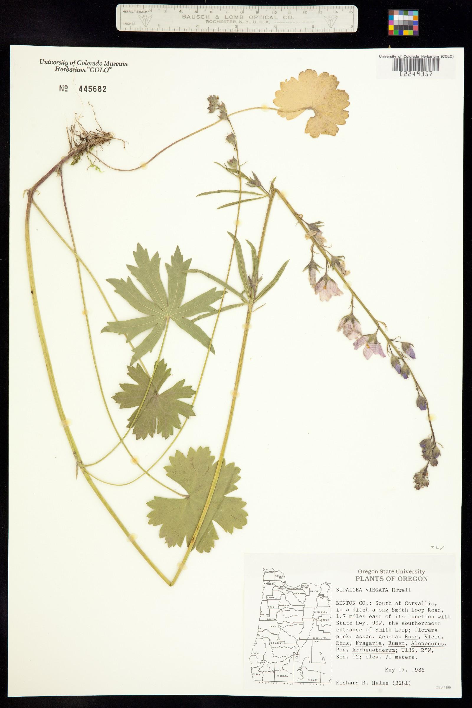 Sidalcea virgata image