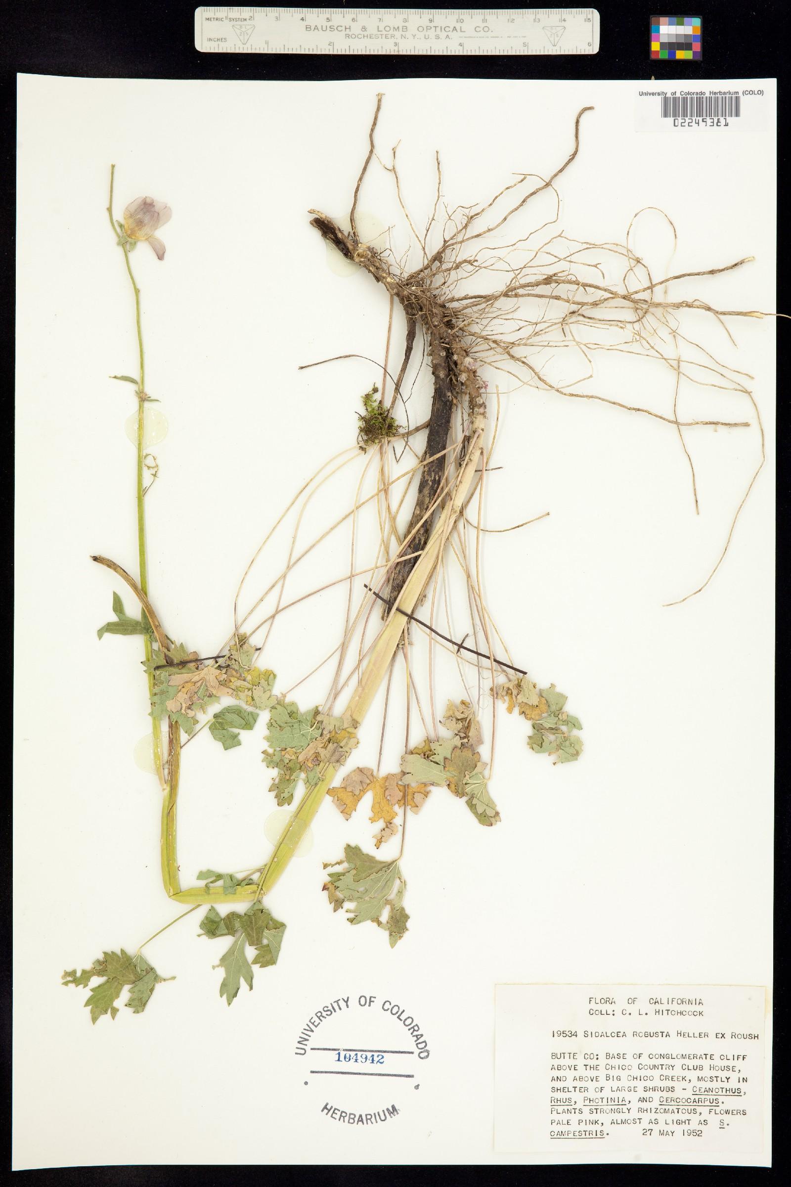Sidalcea robusta image