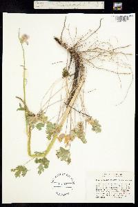 Image of Sidalcea robusta