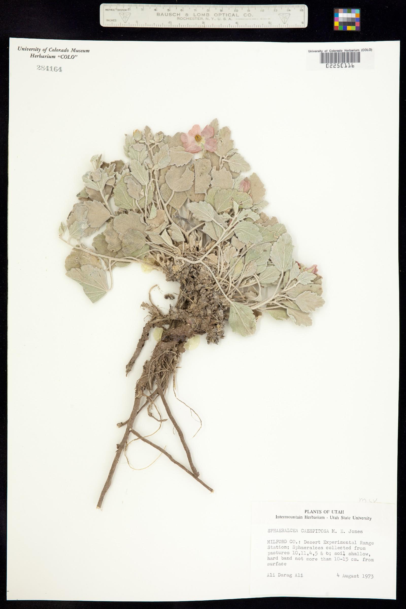 Sphaeralcea caespitosa image
