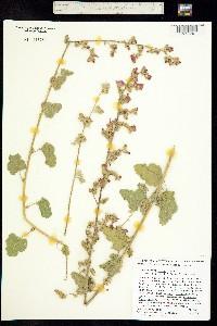 Image of Sphaeralcea fulva