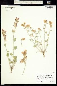 Image of Sphaeralcea munroana