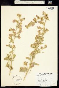 Sphaeralcea orcuttii image