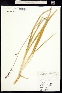 Image of Hastingsia atropurpurea