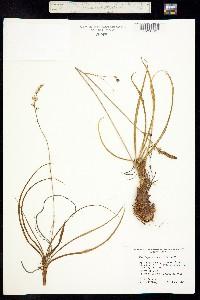 Image of Hastingsia alba