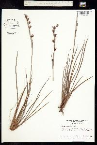 Image of Pleea tenuifolia