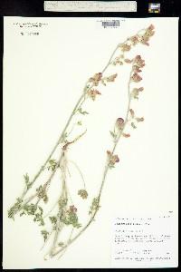 Image of Sphaeralcea rusbyi