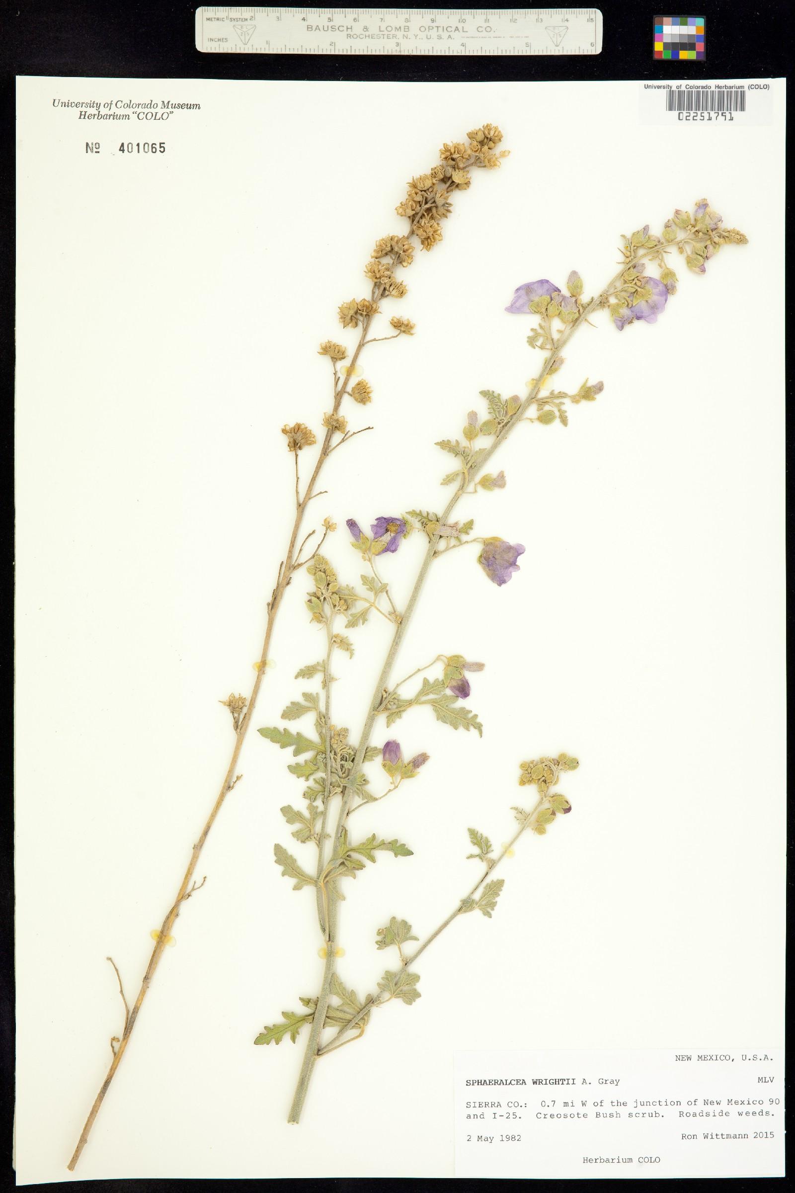 Sphaeralcea wrightii image