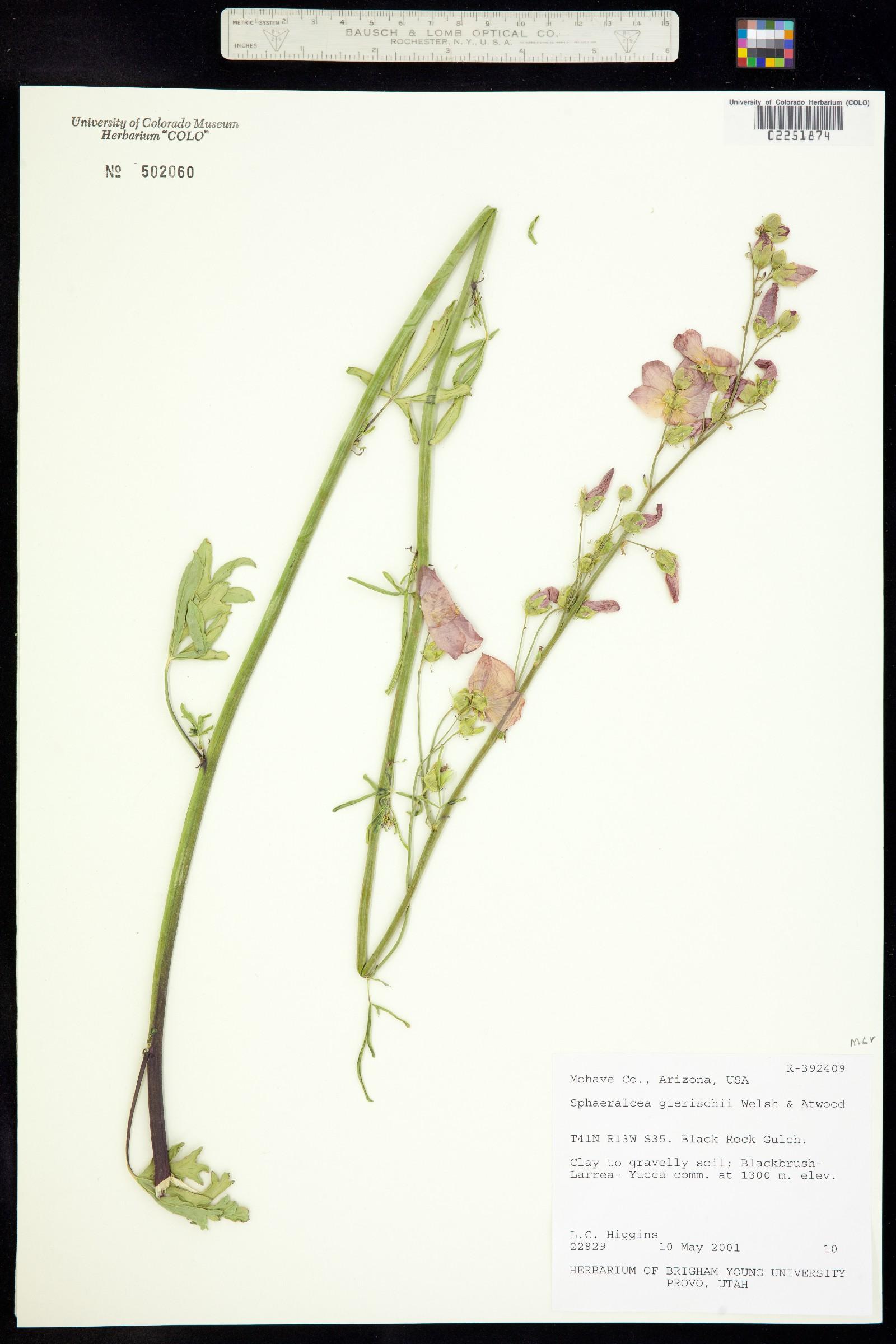Sphaeralcea gierischii image