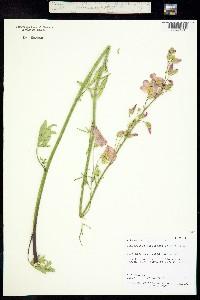 Image of Sphaeralcea gierischii