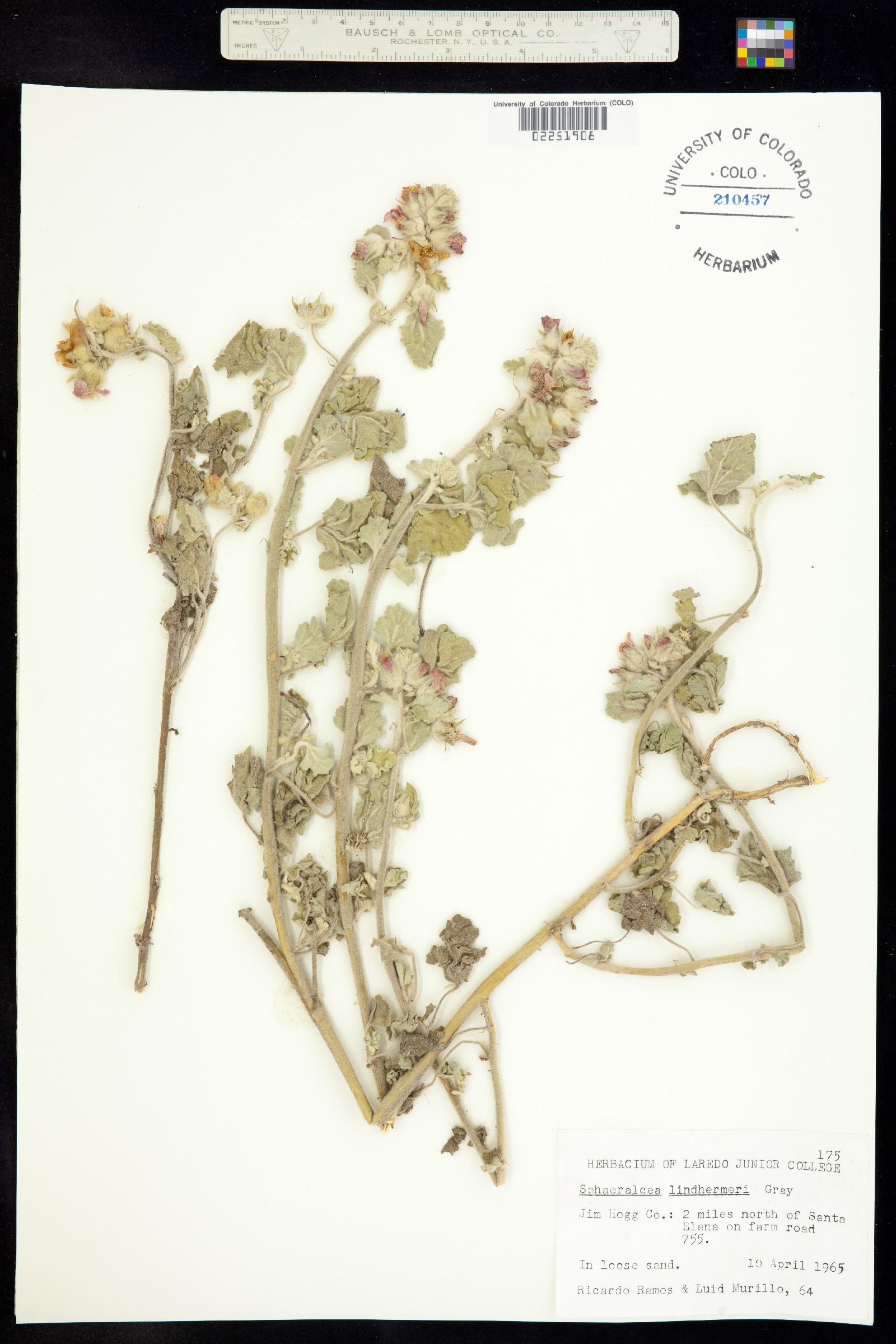 Sphaeralcea lindheimeri image