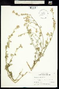 Sphaeralcea pedatifida image