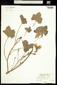 Image of Proboscidea althaeifolia