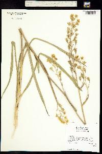 Zigadenus elegans subsp. elegans image