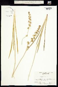 Triantha racemosa image