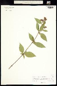 Image of Tibouchina longifolia