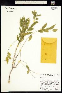 Trichilia hirta image