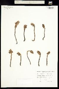 Image of Monotropsis odorata