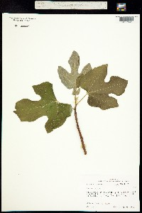 Image of Ficus carica