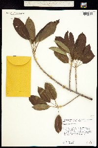 Image of Ficus superba