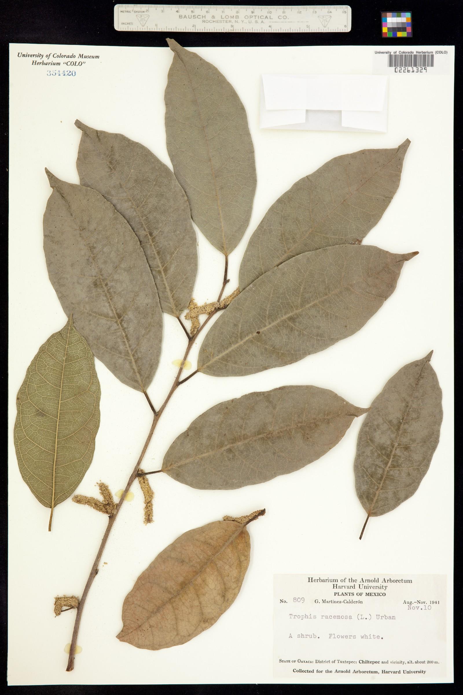 Trophis racemosa image