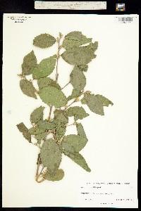 Morus celtidifolia image