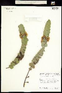 Image of Eucalyptus kruseana