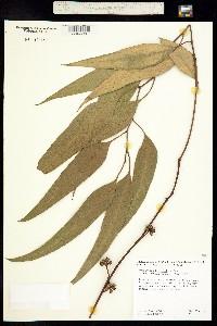 Image of Eucalyptus blakelyi