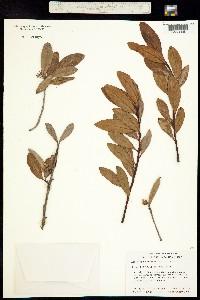 Image of Aegiceras corniculatum
