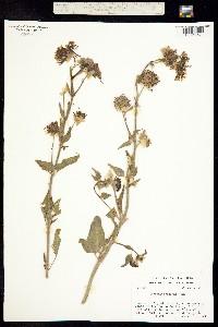Abronia fragrans image