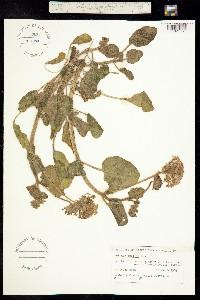 Abronia ameliae image