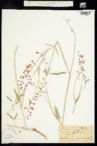Image of Boerhavia gibbosa