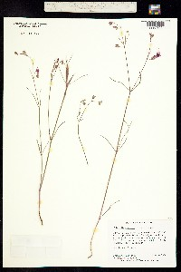 Mirabilis coccinea image