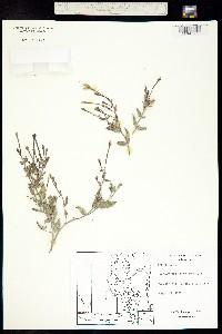 Acleisanthes lanceolata image