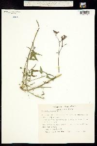 Image of Mirabilis viscosa