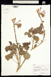 Camissonia cardiophylla image