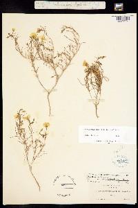 Camissonia dentata image