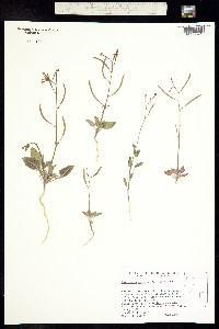 Camissonia walkeri image