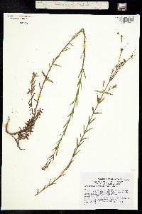 Image of Hypericum fastigiatum