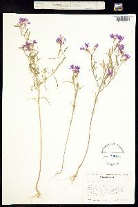 Clarkia pulchella image