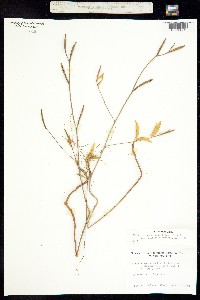 Clarkia amoena image