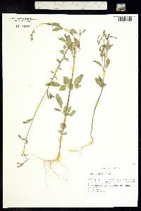 Clarkia rhomboidea image