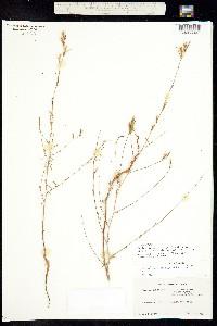 Epilobium brachycarpum image