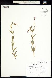 Image of Epilobium maysillesii