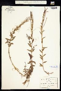 Image of Epilobium denticulatum